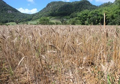 Experimental Wheat Cultivation Project enters Phase 3