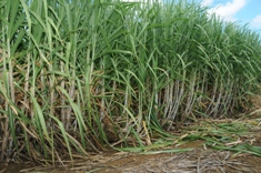 Mauritius hosts International Society of Sugar Cane Technologists Co-Products workshop