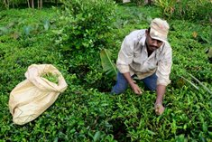 Tea Sector Support Scheme launched